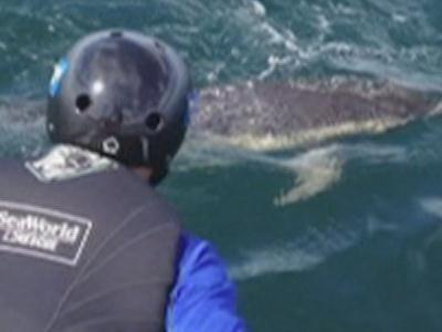 Raw: Tangled Dolphin Rescued in Calif.