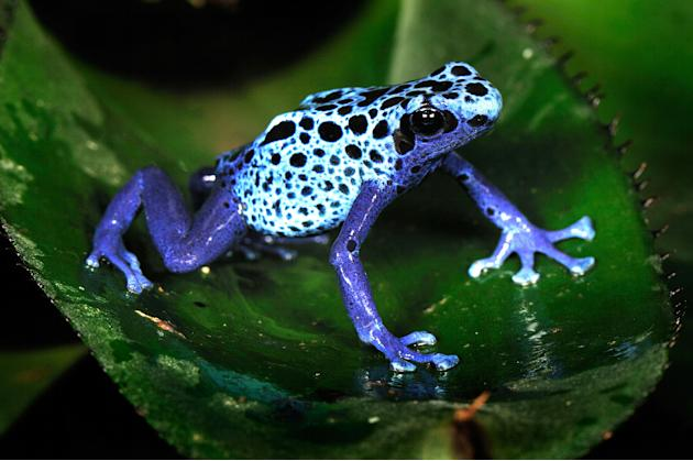 A blue poison dart frog, from Surinam. The colourful amphibian is found in the north region of South America (Caters)