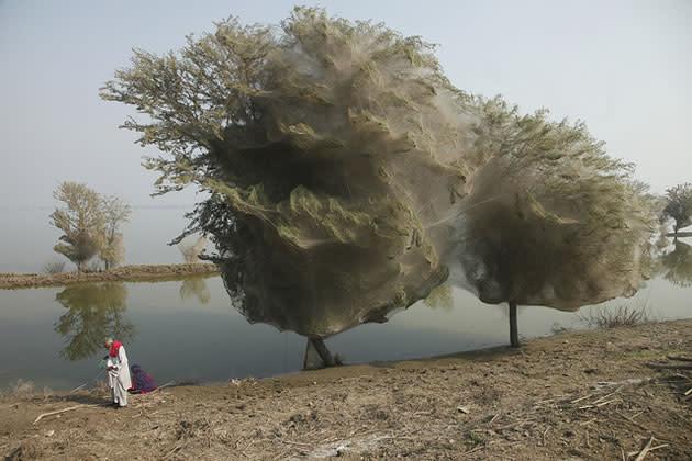 Aranhas fazem teias em árvores