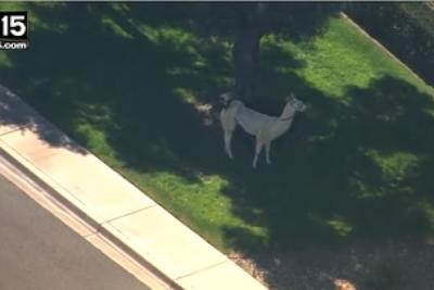 A former zookeeper thinks the Arizona llama capture was done all wrong