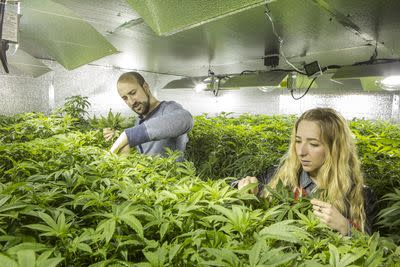 Are marijuana regulations weeding out family farmers?