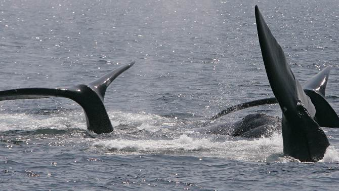 """FILE - This April 10, 2008 file photograph shows three right whales cresting their tails on the surface near Provincetown, Mass., in Cape Cod Bay.  A study off the Massachusetts coast has concluded that increasing amounts of underwater noise, largely from shipping traffic, is surrounding rare right whales in an """"acoustic smog,"""" making it harder for them to communicate. (AP Photo/Stephan Savoia)"""