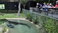 Visitors watch as Elvis, a giant saltwater crocodile swims next to a lawnmower in his pool at the Australian Reptile Park at Gosford, Australia, Wednesday, Dec. 28, 2011. The 16-foot (5-meter), 1,100-pound (500-kilogram) crocodile lunged out of its lagoon at a park worker tending to the lawn before stealing his lawn mower. (AP Photo/Libby Bain) EDITORIAL USE ONLY