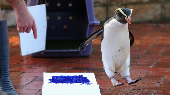 'Mr Munro' a Fiordland penguin jumps to the side leaving his paint prints on tiles next to a canvas at Taronga Zoo on June 27, 2012 in Sydney, Australia. Taronga and Western Plains Zoo today pledged a a new elephant conservation project in Thailand and animals at Taronga made their pledge by dipping their feet and hands in paint and smudging them on canvas. (Photo by Cameron Spencer/Getty Images)