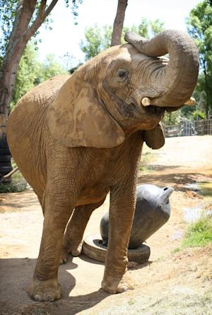 In this Dec. 13, 2010 photo, African elephant Jumbo, also known as Mila, is seen at Franklin Zoo near Auckland.   A New Zealand zookeeper has been killed by the elephant she had been caring for. New Zealand Police say in a brief statement that officers were called to the Franklin Zoo near Auckland on Wednesday afternoon, April 25, 2012,  following an incident between the elephant and the keeper. (AP Photo/New Zealand Herald, Natalie Slade) NEW ZEALAND OUT, AUSTRALIA OUT