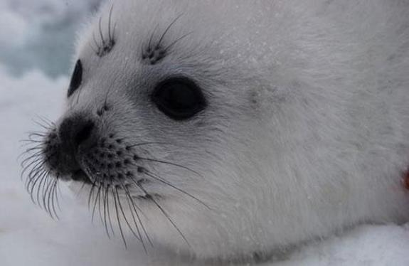 Less Ice Equals More Seal Strandings on US Coast