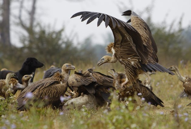 Vultures battle for a cow carcass as they feed at a vulture restaurant in Nawalparasi