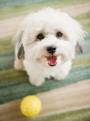 Havapoo (Havanese + Poodle)