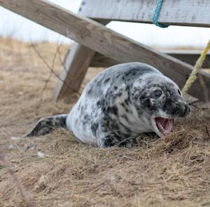 This Wednesday, Jan. 16, 2013 photo provided by explore.org shows a seal on Seal Island, Maine via a camera set to record seal-pupping activities on the remote island. Images have begun streaming live to the public on Thursday in what's believed to be the first live-streaming camera at an East Coast seal-pupping site. Similar high-definition cameras have been set up around the world in recent years to capture the activities of eagles, polar bears, loons, black bears and other animals. The camera on Seal Island, about 20 miles off the midcoast of Maine, provides views of gray seals that migrate to the island each year to give birth. (AP Photo/explore.org, Janine Parziale)