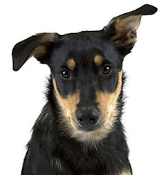 File photo of Australian Kelpie puppy (Thinkstock)