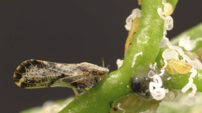 File - In this undated file photo, the Asian citrus psyllid is seen in this University of Florida photo provided by the University of California, Davis. The California Department of Food and Agriculture announced Friday that citrus greening, also known as huanglongbing, has been discovered in lemon/pummelo tree in a residential neighborhood of Los Angeles County. The bacterial disease is carried by the Asian citrus psyllid and attacks the vascular system of trees. (AP Photo/University of Florida, Michael Rogers, file)
