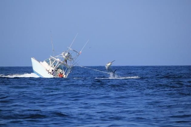 Moby dick 2 0 black marlin sinks fishing boat off the coast of panama daily buzz yahoo news