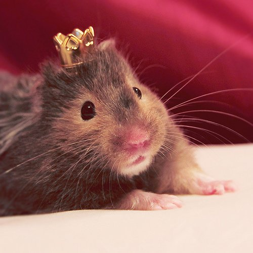 7. Regal Rodent