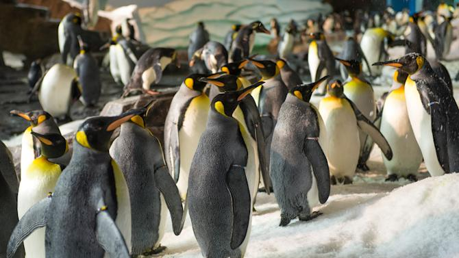 This undated image released by SeaWorld Parks & Entertainment, Inc. shows king penguins at Antarctica: Empire of the Penguin, a new attraction at SeaWorld Orlando. The attraction opens Friday, May 24, 2013. (AP Photo/SeaWorld Parks & Entertainment, Inc.)