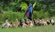 A Myanmar farmer, a client of a microfinance project worker, minds ducks at a village near the town of Pyapone in the Irrawaddy delta region on July 18. Microfinance initiatives -- which provide small, low-cost loans to the poor -- are seen by experts as a way to help alleviate poverty in one of the world&#39;s least-developed countries