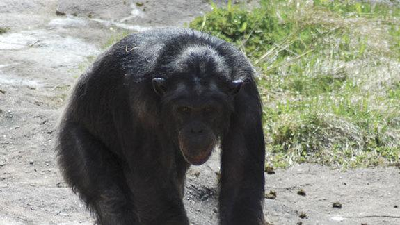 Deceptive Chimp Hides Ammo, Blasts Unsuspecting Zoo Visitors