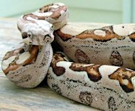 "This boa constrictor is the result of a ""virgin birth"" in which its mama reproduced without a male in a phenomenon called parthenogenesis."