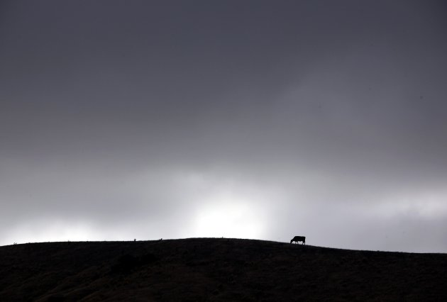 Clouds gather above a cow as it grazes in a drought-effected paddock on the outskirts of the New Zealand town of Blenheim