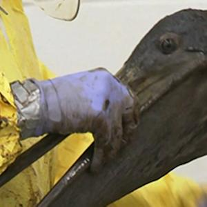 Birds Cleaned After Calif. Oil Spill