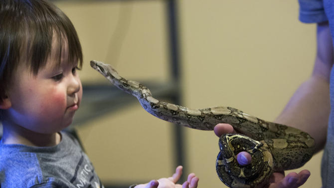 Caiden Cobb admires one of his father's snakes, Friday, April 26, 2013 in Cottonwood Heights, Utah. Thomas Cobb has been ordered by police to get rid of all but one of his 29 exotic boa constrictor snakes because he doesn't have an exotic pet permit.  (AP Photo/The Deseret News, Scott G. Winterton)  SALT LAKE TRIBUNE OUT;  MAGS OUT
