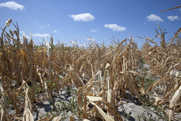 A dry field of corn is seen near Ashland, Neb., Thursday, Aug. 9, 2012. The latest U.S. drought map shows that excessively dry conditions continue to worsen in the Midwest states that are key producer