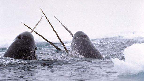 Meanwhile, in Canada, a Narwhal Tusk Smuggling Ring Got Busted