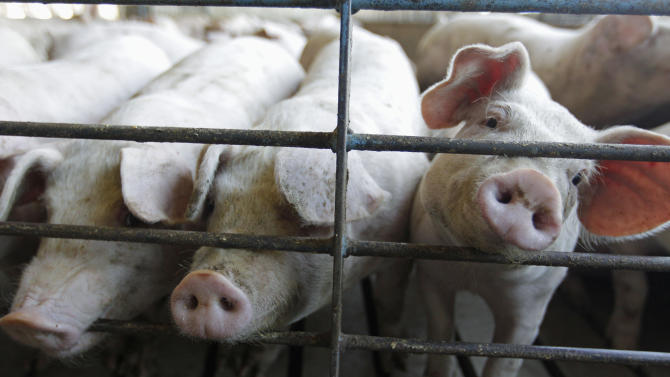 FILE - This June, 28, 2012, file photo shows hogs at a farm in Buckhart, Ill. U.S. agricultural economists say that a global shortage of bacon because of this year's drought will not pan out. Their consensus is that consumers will still find their ever-ubiquitous bacon at the supermarket, but they should just expect to pay more for it. (AP Photo/M. Spencer Green, File)
