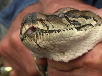 Raw: Sen. Nelson Joins Python Hunt in Fla.