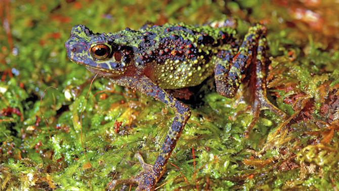 This photo, taken June 13, 2011 and released by Institute of Biodiversity and Environmental Conservation, shows an adult female Bornean Rainbow Toad, also referred to as Sambas Stream Toad (Ansonia latidisca) in Penrissen, Sarawak, Malaysian Borneo. Scientists scouring the mountains of Borneo spotted the toads, which were last seen by European explorers in 1924, providing the world with the first photographs of the colorful, spindly-legged creature, a researcher said Thursday, July 14, 2011. (AP Photo/Institute of Biodiversity and Environmental Conservation, Indraneil Das)  NO SALE, MANDATORY CREDIT, ONE TIME USE ONLY, NO ARCHIVES