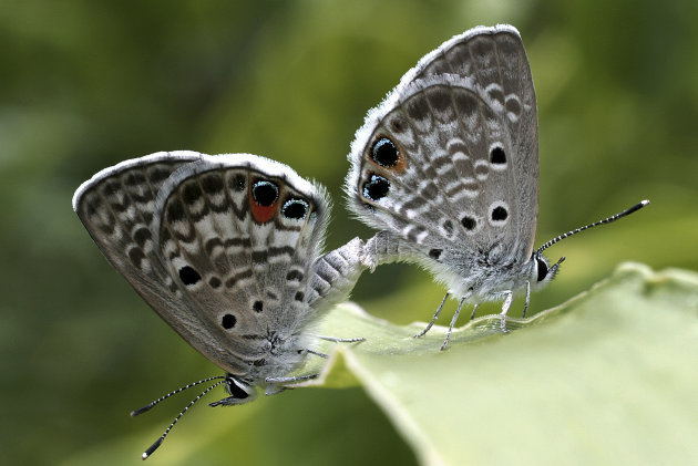 In this undated photo, two Miami blue butterfly are shown at Bahia Honda State Park in the Florida Keys. No confirmed Miami blues have been seen on Bahia Honda since July 2010. The U.S. Fish and Wildlife Service last August issued an emergency listing of the Miami blue as an endangered species. (AP Photo/Paula Cannon)