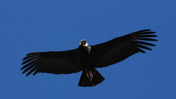 Bill Seeks Protection for Enormous Condors
