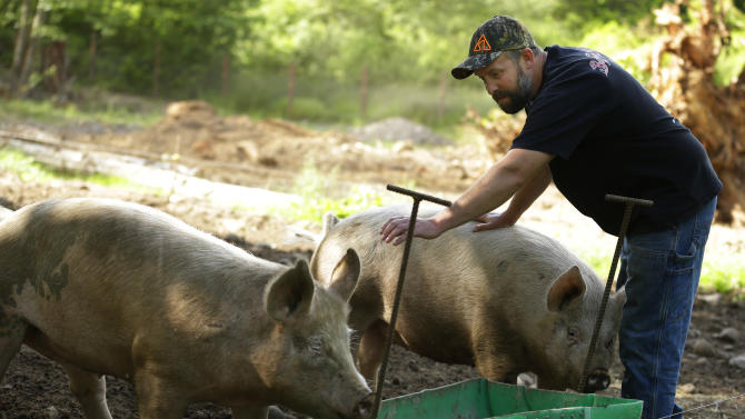 Flavor experiment: Wash. farmer feeds pot to pigs