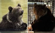 Rescued Bear Cub Gets First Taste Of Freedom