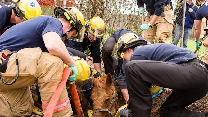 Portland Fire and Rescue personnel work to extricate 34-year-old quarter horse Roxy after she had fallen into an old septic tank and was unable to get out in Portland, Ore., Monday, March 26, 2012.  The only injury appeared to be a laceration to her front leg, which firefighters bandaged up before a veterinarian arrived.  The horse was stressed out and shaking after the incident, but was able to walk on her own to her barn after a thorough hose bath.(AP Photo/Portland Fire and Rescue, Greg Muhr)