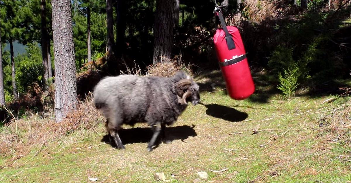 Angry Ram Destroys a Punching Bag!