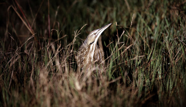 In this Monday, Dec. 17, 2012 photo, an American bittern hides in the grass during an annual 24-hour Christmastime ritual to count birds along the Texas Gulf Coast in Mad Island, Texas. The data collected, with the help of more than 50 other volunteers spread out into six groups across the 7,000-acre Mad Island preserve, will be regionally and nationally analyzed, landing in a broad database that includes results from hundreds of other bird counts going on nationally during a two week period. What began 113 years ago as an Audobon Society protest to annual bird hunts that left piles of carcasses littered in different parts of the country now helps scientists understand how birds react to short-term weather events, such as drought and flooding, and seek clues on how they might behave as temperatures rise and climate changes. (AP Photo/David J. Phillip)