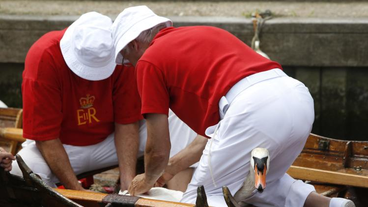 Swan Uppers bind a swan before inspecting it during the annual Swan Upping ceremony on the River Thames between Shepperton and Windsor in southern England