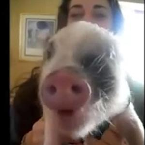 Must see video: Piggy pigs out at snack time