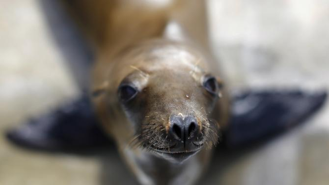 A rescued California sea lion pup looks up from her holding pen at Sea World San Diego