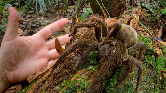 theraphosa4 - Giant spider - Weird and Extreme
