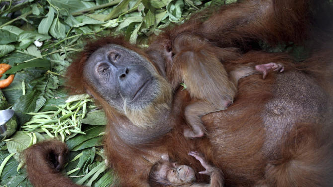 FILE - In this Thursday, Jan. 27, 2011 file photo, Gober, an elderly female Sumatran orangutan who is blind in both eyes due to cataracts, lies down with her twin babies at a rehabilitation center in Sibolangit, North Sumatra, Indonesia. Formerly blind Gober can see her baby twins for the first time after undergoing cataract surgery in the first such operation in Indonesia. (AP Photo/Binsar Bakkara, File)