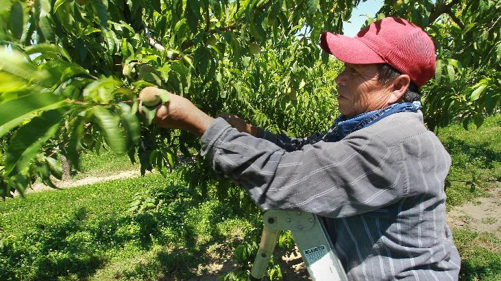 This Wednesday May 23, 2012, photo, shows  Marquez Sr. thinning out peaches by hands on this Loring variety peach tree a at Eckert's Orchards in Belleville, Illinois.  Illinois peach growers say mild winter are providing record-breaking early harvests. (AP Photo/Belleville News-Democrat, Tim Vizer)