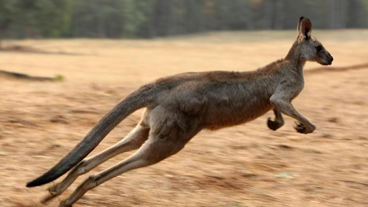 File picture for illustration shows a kangaroo in the Kiewa Valley, Victoria, southeast Australia on February 11, 2009