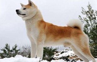 How Much Do Akitas Cost