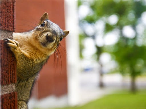 In this May 29, 2012 photo, a squirrel peaks into a window at Paris Gibson Education Center in Great Falls Mont. (AP Photo/The Great Falls Tribune, Larry Beckner)