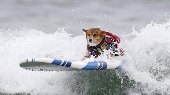A corgi named Jojo catches a wave in the medium size dog competition during the 10th annual Petco Unleashed surfing dog contest at Imperial Beach, California