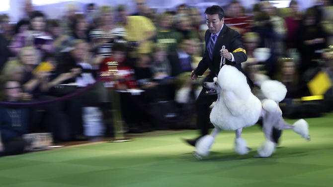 A handler shows a standard poodle in the ring during the 137th Westminster Kennel Club dog show, Monday, Feb. 11, 2013 in New York.  (AP Photo/Mary Altaffer)
