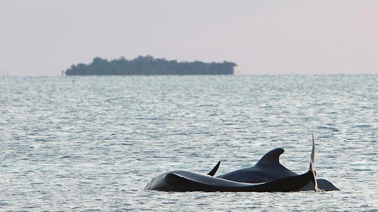 Two stranded pilot whales struggle in shallow waters near Cudjoe Key, Florida on May 5, 2011
