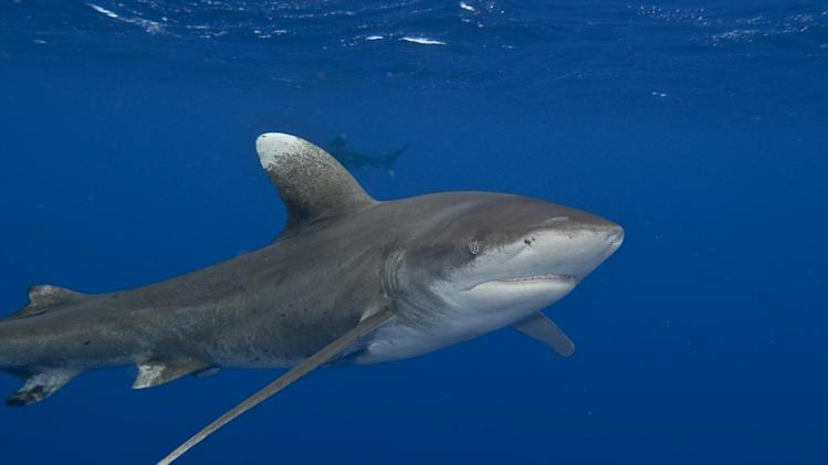 This undated handout photo, taken in 2010, provided by Terry Goss Photography USA/Marine Photobank, shows an Oceanic whitetip shark. The oceanic whitetip shark was once one of the most plentiful predators on Earth and now is rarely seen. Species of plants and animals are going extinct 1,000 faster than they did before humans, with the world on the verge of a sixth great extinction, a new study says. The study looks at the past and present rates of extinction and found a lower rate in the past than scientists had thought. Because of that it means that species are now disappearing from Earth at a rate about ten times faster than biologists had figured before, said study lead author noted biologist Stuart Pimm of Duke University. (AP Photo/Terry Goss, Terry Goss Photography USA/Marine Photobank)