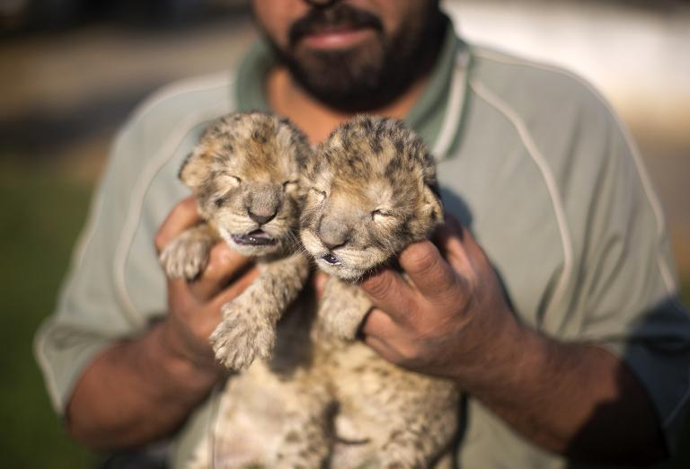 3b1877331266f48531daf7f5901ac00e6ff51578 - Hamas announces birth of two lion cubs in Gaza - Asia | Middle East